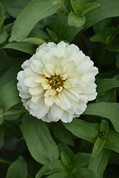 Zahara Double White Zinnia (Zinnia 'Zahara Double White') at Roger's Gardens
