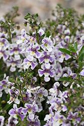 Alonia Bicolor Violet Angelonia (Angelonia angustifolia 'Alonia Bicolor Violet') at Roger's Gardens