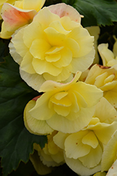 Solenia Yellow Begonia (Begonia x hiemalis 'Solenia Yellow') at Roger's Gardens