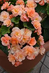 Solenia Apricot Begonia (Begonia x hiemalis 'Solenia Apricot') at Roger's Gardens