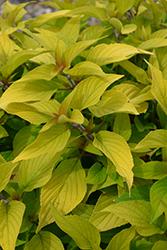 Rockin' Golden Delicious (Salvia 'Rockin' Golden Delicious') at Roger's Gardens