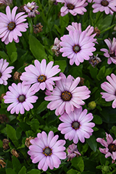 Bright Lights Pink African Daisy (Osteospermum 'INOSTEPINK') at Roger's Gardens