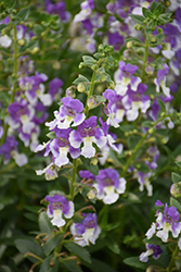 Angelface Wedgewood Blue Angelonia (Angelonia angustifolia 'Angelface Wedgewood Blue') at Roger's Gardens
