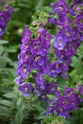 Angelface Blue Angelonia (Angelonia angustifolia 'ANBLU140') at Roger's Gardens