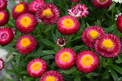 Cottage Rose Strawflower (Bracteantha 'Wesbracoro') at Roger's Gardens