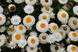 Cottage Ice Strawflower (Bracteantha 'Wesbracoice') at Roger's Gardens