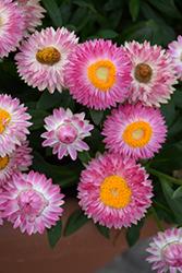 Cottage Pink Strawflower (Bracteantha 'Wesbracopi') at Roger's Gardens