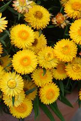Cottage Yellow Strawflower (Bracteantha 'Wesbracoye') at Roger's Gardens