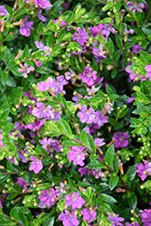 FloriGlory Diana Mexican Heather (Cuphea hyssopifolia 'Wescuflodia') at Roger's Gardens