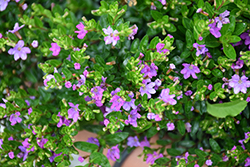 FloriGlory Selena Mexican Heather (Cuphea hyssopifolia 'Wescuflope') at Roger's Gardens