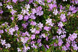 FloriGlory Sofia Mexican Heather (Cuphea hyssopifolia 'Wescufloso') at Roger's Gardens