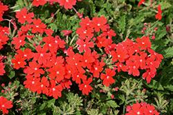 Lanai Upright Scarlet Verbena (Verbena 'Lanai Upright Scarlet') at Roger's Gardens