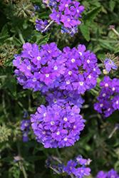 Lanai Sky Blue Verbena (Verbena 'Lanai Sky Blue') at Roger's Gardens