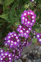 Lanai Cyclops Purple Verbena (Verbena 'Lanai Cyclops Purple') at Roger's Gardens
