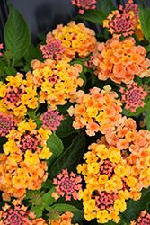 Bandana Orange Lantana (Lantana camara 'Bandana Orange') at Roger's Gardens