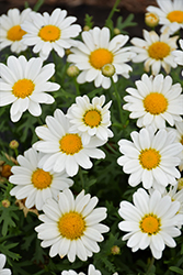 Pure White Butterfly Marguerite Daisy (Argyranthemum frutescens 'G14420') at Roger's Gardens