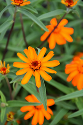 Star Orange Zinnia (Zinnia angustifolia 'Star Orange') at Roger's Gardens