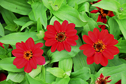 Zahara Raspberry Zinnia (Zinnia 'Zahara Raspberry') at Roger's Gardens
