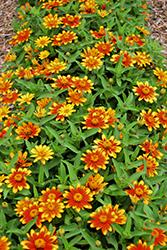 Zahara Sunburst Zinnia (Zinnia 'Zahara Sunburst') at Roger's Gardens