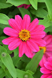 Zahara XL Pink Zinnia (Zinnia 'Zahara XL Pink') at Roger's Gardens