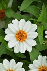 Zahara XL White Zinnia (Zinnia 'Zahara XL White') at Roger's Gardens