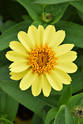 Zahara XL Yellow Zinnia (Zinnia 'Zahara XL Yellow') at Roger's Gardens