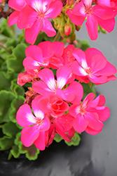 Calliope Medium Hot Rose Geranium (Pelargonium 'Calliope Medium Hot Rose') at Roger's Gardens