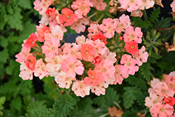 Superbena Royale Peachy Keen Verbena (Verbena 'Superbena Royale Peachy Keen') at Roger's Gardens