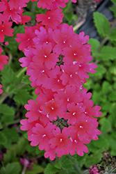 Superbena Raspberry Verbena (Verbena 'RIKAV45801') at Roger's Gardens