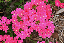 Lanai Deep Pink Verbena (Verbena 'Lanai Deep Pink') at Roger's Gardens