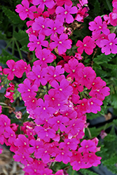 Lanai Neon Rose Verbena (Verbena 'Lanai Neon Rose') at Roger's Gardens