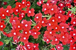 Lanai Upright Red with Eye Verbena (Verbena 'Lanai Upright Red with Eye') at Roger's Gardens