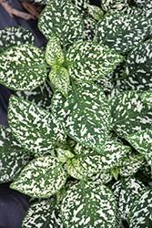 Hippo White Polka Dot Plant (Hypoestes phyllostachya 'G15180') at Roger's Gardens