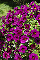 Cabaret Purple Calibrachoa (Calibrachoa 'Balcabpurim') at Roger's Gardens