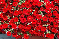 Cabaret Bright Red Calibrachoa (Calibrachoa 'Balcabrite') at Roger's Gardens