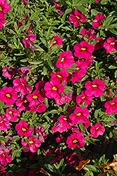 Aloha Tiki Neon Calibrachoa (Calibrachoa 'Aloha Tiki Neon') at Roger's Gardens