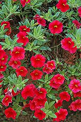 Aloha Red Calibrachoa (Calibrachoa 'Aloha Red') at Roger's Gardens