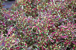 Tiny Toes Coleus (Solenostemon scutellarioides 'Tiny Toes') at Roger's Gardens