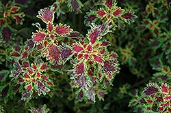 India Frills Coleus (Solenostemon scutellarioides 'India Frills') at Roger's Gardens