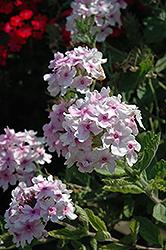 Superbena Pink Parfait Verbena (Verbena 'Superbena Pink Parfait') at Roger's Gardens