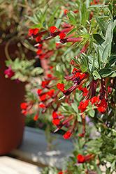 Firecracker Cuphea (Cuphea purpurea 'Firecracker') at Roger's Gardens
