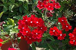 Empress Flair Dark Red Charme Verbena (Verbena 'Empress Flair Dark Red Charme') at Roger's Gardens