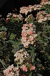 Empress Flair Peach Verbena (Verbena 'Empress Flair Peach') at Roger's Gardens