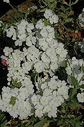 Empress White Verbena (Verbena 'Empress White') at Roger's Gardens