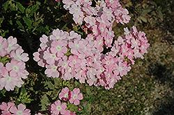 Empress Soft Pink Charme Verbena (Verbena 'Empress Soft Pink Charme') at Roger's Gardens