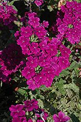 Empress Purple Verbena (Verbena 'Empress Purple') at Roger's Gardens