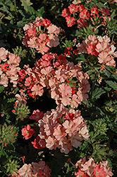 Empress Peach Verbena (Verbena 'Empress Peach') at Roger's Gardens