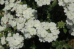Empress Flair White Verbena (Verbena 'Empress Flair White') at Roger's Gardens