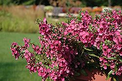Carita Cascade Raspberry Angelonia (Angelonia angustifolia 'Carita Cascade Raspberry') at Roger's Gardens