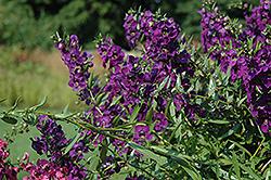 Carita Cascade Deep Purple Angelonia (Angelonia angustifolia 'Carita Cascade Deep Purple') at Roger's Gardens